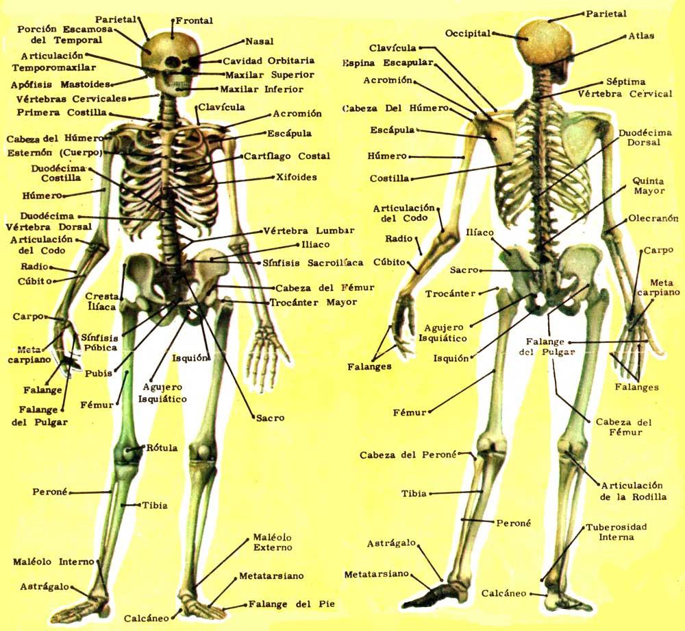 Famoso Huesos Humanos Etiquetados Cresta - Imágenes de Anatomía ...