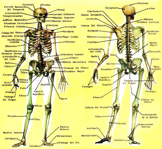 206 huesos linear unit latin