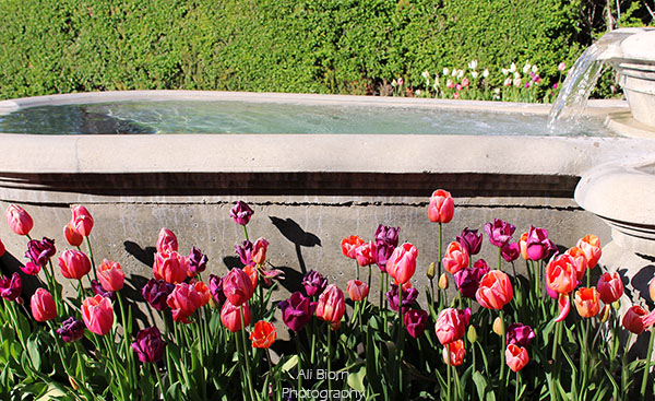 Tulips by Cascading Fountain at Thanksgiving Point
