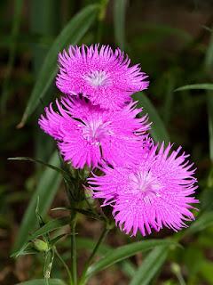 bunga anyelir di indonesia