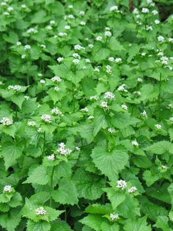 Join effort to remove garlic mustard from natural areas at Michigan State Parks