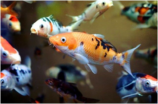 Gambar Ikan Hias Cantik – Ikan Koi