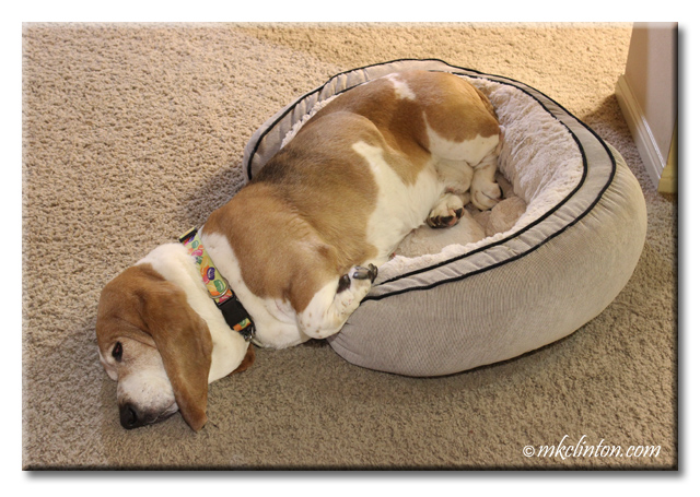 Basset Hound in a bed that is too small