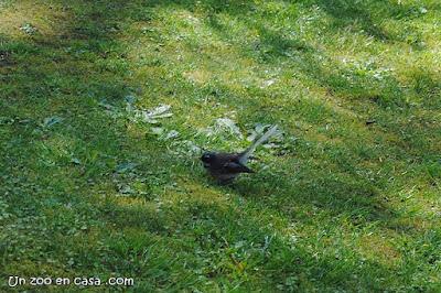 Abanico maorí (Rhipidura fuliginosa)
