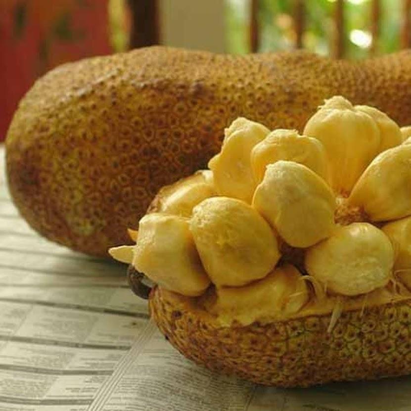 Bibit Tanaman Buah Cempedak Durian Padang Sidempuan
