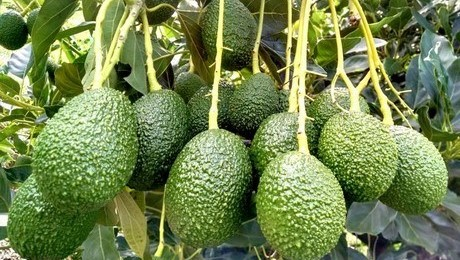 Kenya's avocado export business in 2020 has surpassed the volume of export realized in 2019 pointing to a robust performance for the crop.