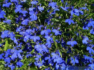 Lobelia erinus 'Cobalt Blue'