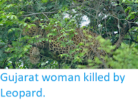 https://sciencythoughts.blogspot.com/2019/05/gujarat-woman-killed-by-leopard.html