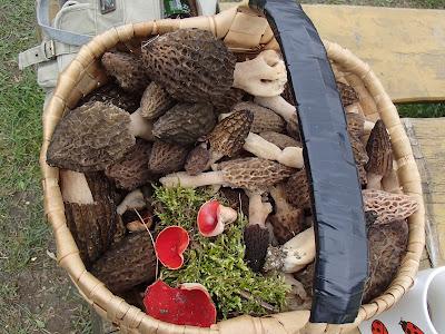 grzyby wiosenne, smardze, smardzowanie, smardzobranie, smardzowanie 2016, spotkanie w Slanej Vodzie