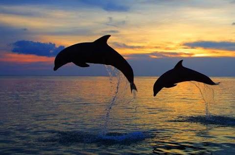 Wisata Lumba-lumba Lovina, Atraksi dolphin liar di tengah laut lovina