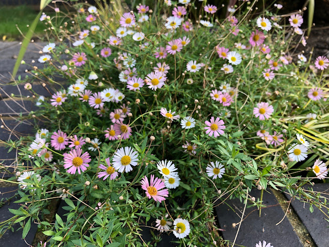 A clump of Erigeron (fleabane) daisies in the garden
