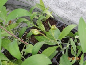 Alstroemeria seedlings in a seed tray