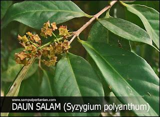 Daun Salam (Syzygium polyanthum) sebagai Obat Asam Urat alami yang mudah untuk dibuat sendiri