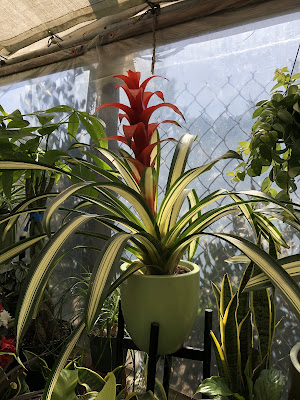 red bromeliad with variegated blades