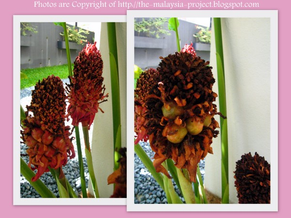 My nice garden torch ginger flower seeds germination the whole flower head is filled with bunga kantan seeds the seeds change colour from green to dark brown when ripe ccuart Images