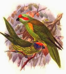 Goldie´s lorikeet