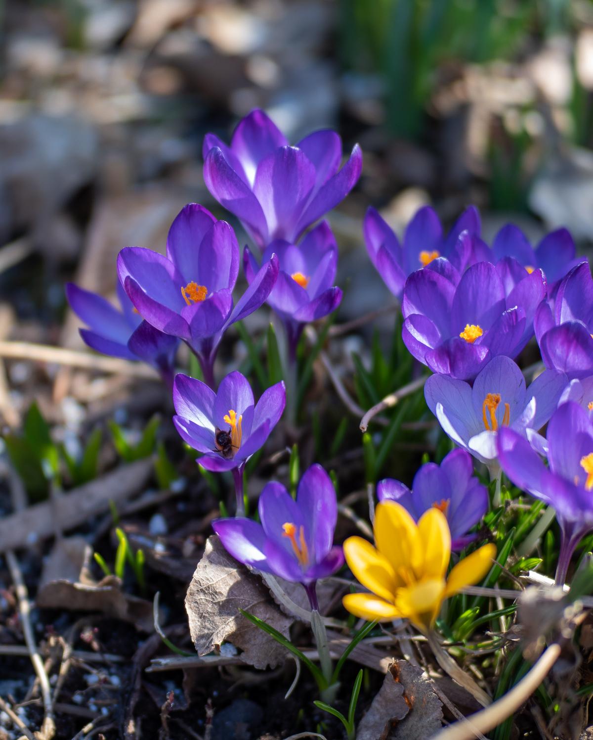 kevään kukkaloisto