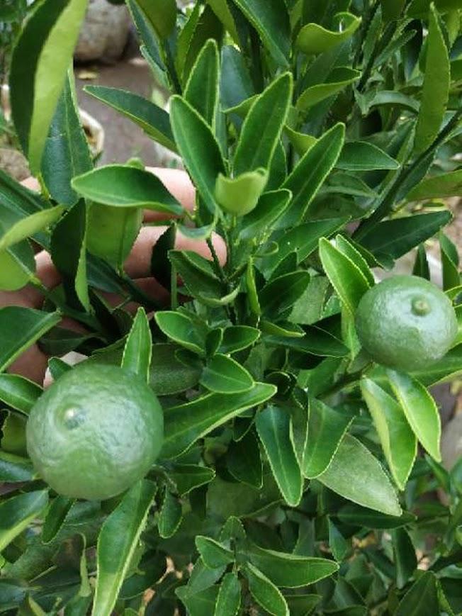 sudah berbuah bibit pohon Tanaman buah jeruk limo sudah berbuah nipis purut bali lemon siam kip keep Palopo
