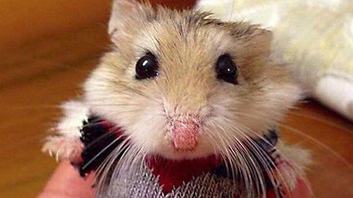 10 hewan peliharaan untuk anak-anak, hamster, hamster lower classifications, golden hamster, hamster facts, djungarian hamster, chinese hamster, hamsters in the wild, roborovski hamster, european hamster, funny pet