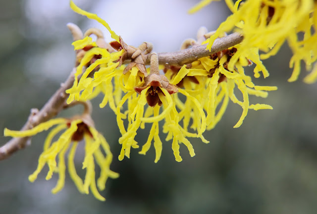 Natural cosmetics: the boom of powerful plant extracts in your skincare - witch hazel