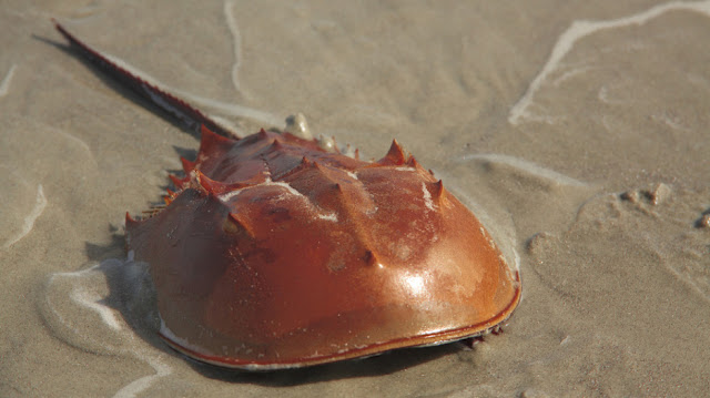 Compound eyes: The visual apparatus of today's horseshoe crabs goes back 400 million years
