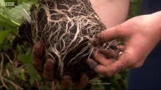 Verbena Bonariensis root system