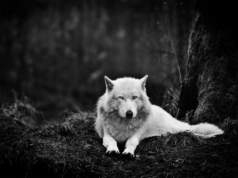 Handsome Grey Wolf 03