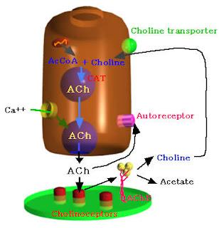 neuroni colinergici