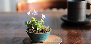 テーブルの上のタチツボスミレの山野草盆栽