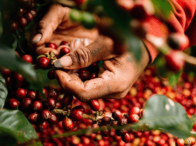 Giá cà phê hôm nay 23/4: Điều chỉnh nhẹ ở một số địa phương