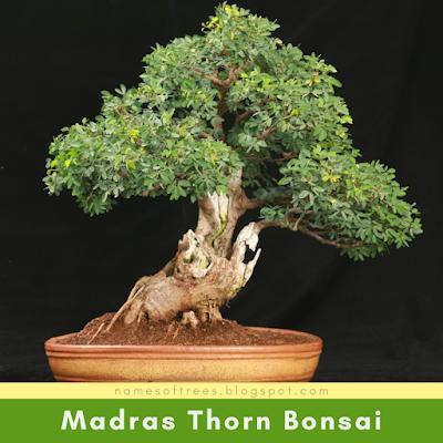 Madras Thorn Bonsai