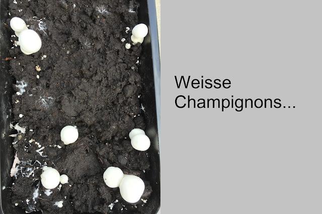 Champignon Zucht