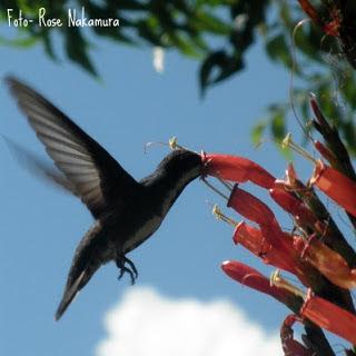 Lindo beija flor - fotografado em Altamira PA