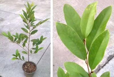 สุคนธาพันธุ์หอมเจริญ(Magnolia Hybrid) จำปีลูกผสม(จำปียูนนาน กับ จำปีป่า)