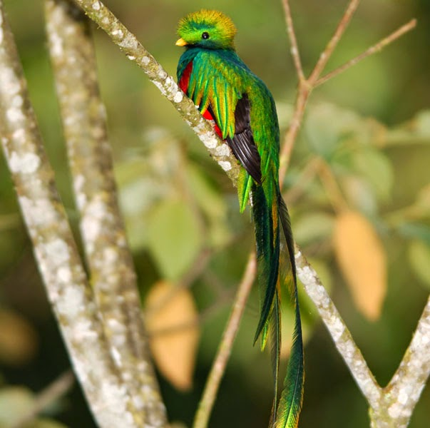 The Quetzal Bird Is So Important To Country They Also Named Their National Currency After It One Worth 100 Centavos In American Dollars