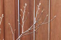 山野草盆栽教室 睦草のアトリエから見えるヒメシャラの新芽