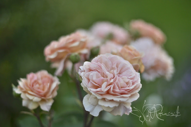 O różach...z  nutką goryczy ;-)