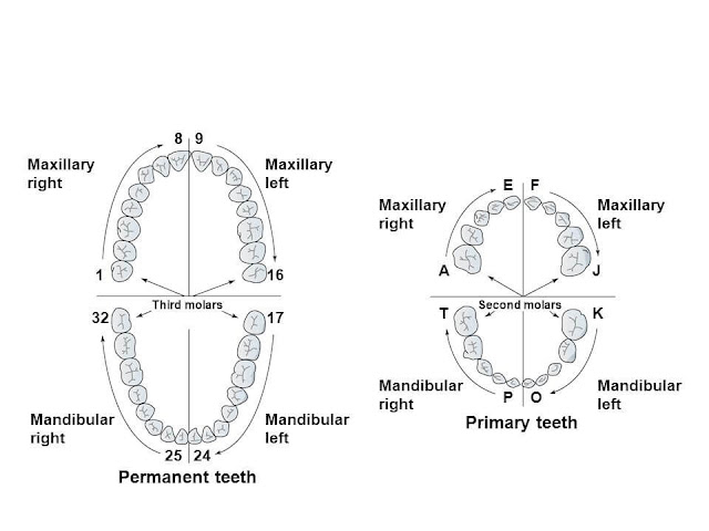 Dental anatomy , Formation of the Dentitions