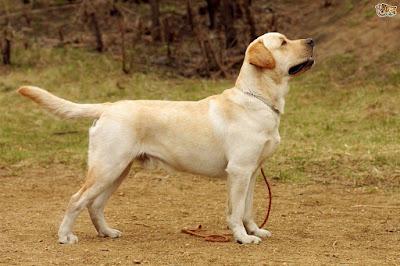 Labrador Retriever (hay Labrador)