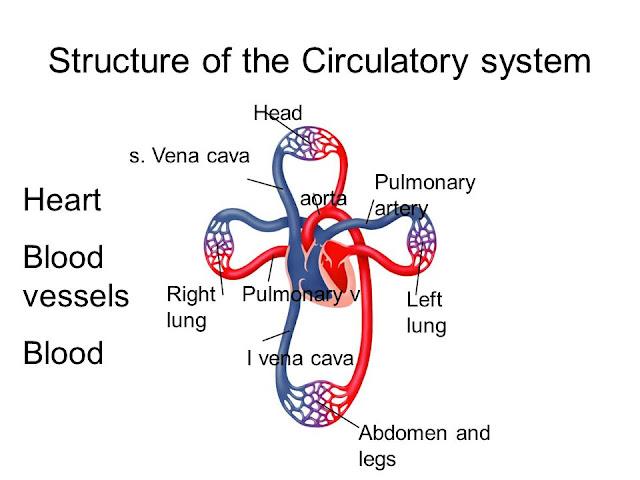 cardiovascular structure