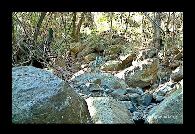 Lince en Cerro Viejo - Por Aura Jaguar