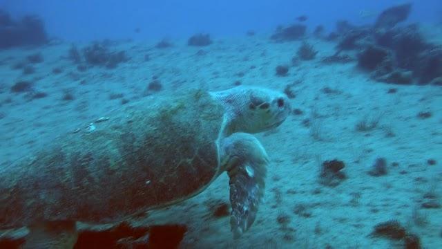 Loggerhead Turtle on the Runaway Barge
