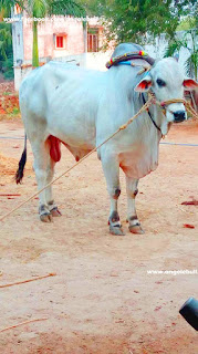 New Ongole bull photos collections free download