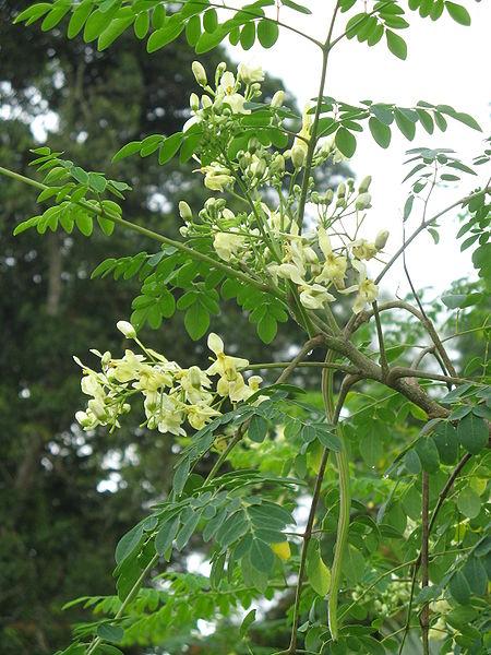 tanaman kelor - Moringa oleifera