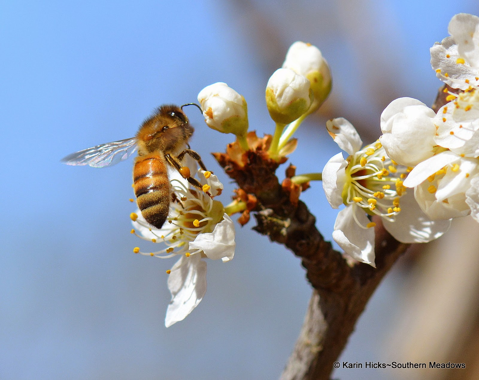 honey bee on plum bloom