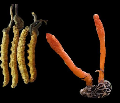 What is the difference between Cordyceps Militaris and Cordyceps sinensis?