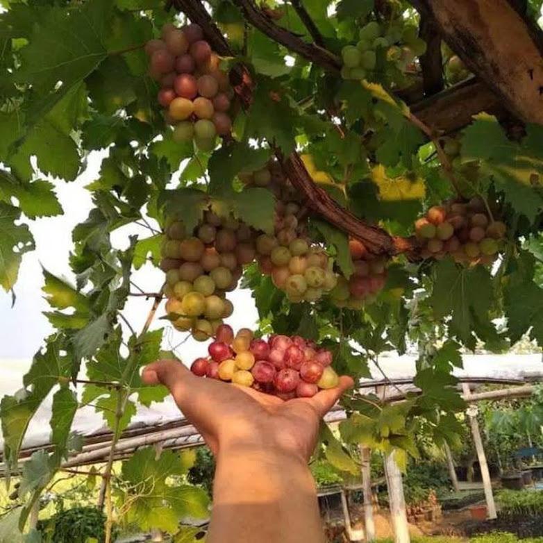 Paket 10 bibit anggur super manis Sulawesi Utara