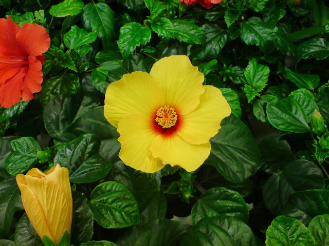 Hawaiirose, Hibiscus