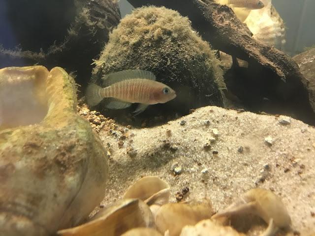 machos N. multifasciatus dominantes.