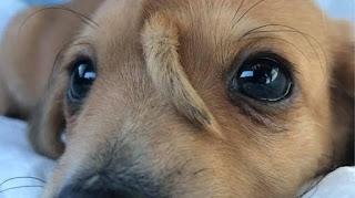 Cachorro com 'rabo' na testa chama atenção nos Estados Unidos; confira imagens